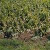 Eine Tabakplantage in Bad Krozingen nach dem Unwetter. Man sieht, was von den zuvor praktisch erntereifen, etwa 80 cm hohen Tabakpflanzen übrig geblieben ist. Foto: Gaby Winkelmann