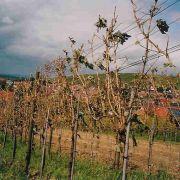 Vom Hagel entlaubte, praktisch zu 100% geschädigte Reben am Ebringer Dürrenberg. Im Vordergrund sind deutlich die Hageleinschläge am jungen, diesjährigen Holz zu sehen.