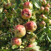 Ausschnitt aus einer Obstplantage in Schallstadt. Die Aufnahme entstand neun Tage nach dem Unwetter. Die Hageleinschläge an den Äpfeln sind deutlich erkennbar.