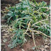 Zucchinipflanzen vom Hagel zerfetzt.